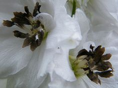 Double White Delphinium Flowers Fine Art Print - Mary Sedivy