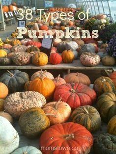 Types of pumpkins Pumpkin Garden, Pumpkin Farm, Autumn Garden, Pumpkin Carving, Fall Pumpkins, Halloween Pumpkins, Fall Halloween, Harvest Time, Fall Harvest