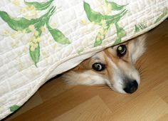 sleeping under the bed  The Daily Corgi