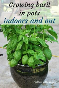 Want epic Basil? Grow it in pots! - - Growing basil in pots instead of in the garden. Grow amazing big and bushy basil plants indoors or out with these tips! Pruning, transplanting and more. Growing Vegetables In Pots, Container Gardening Vegetables, Planting Vegetables, Growing Plants, How To Grow Plants, Growing Gardens, Small Gardens, Gemüseanbau In Kübeln, Home Vegetable Garden