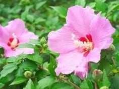 hibiskus ogrodowy fot. psirob - Fotolia.com