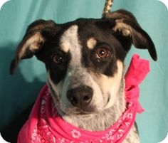 Weatherford, TX - Blue Heeler/Hound (Unknown Type) Mix. Meet Roxy, a dog for adoption. This is a sweet dog, ready for his forever home. What a handsome face! http://www.adoptapet.com/pet/10764001-weatherford-texas-blue-heeler-mix. 817-598-4111. This is a kill shelter.