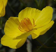 Bush Poppy (Dendromecon rigida). Evergreen shrub normally six feet tall. Flowers in March-June.