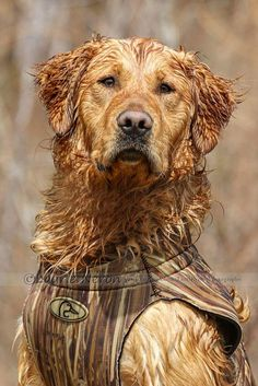 Heads Up PGold Show me a Hero SH CGN (2/25/2016-) Golden Retriever