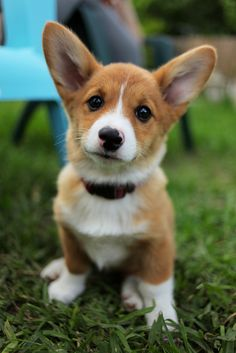 Corgi pup. most definitely getting one. or two.