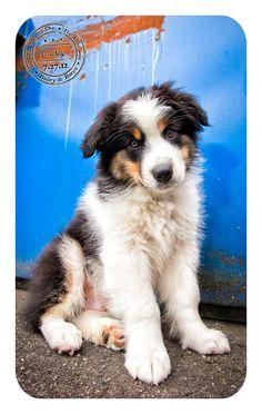 Casey - July 27 - Australian Shepherd