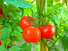 Tomatoes sowing and growing
