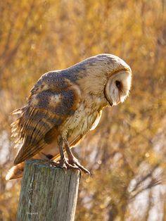 Flickr / dicon  #barn owl