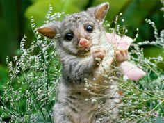 Wombat baby.