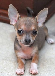 Effective Potty Training Chihuahua Consistency Is Key Ideas. Brilliant Potty Training Chihuahua Consistency Is Key Ideas. Cute Puppies, Cute Dogs, Awesome Dogs, Baby Animals, Cute Animals, Baby Chihuahua, Little Dogs, Dog Pictures, Dog Photos