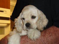 Lucy - 9 Week old Silver Buff Cocker Spaniel