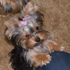 Yorkie Stunning hand crafted yorkshire terrier accessories and jewelery available at Paws Passion Shop! Baby Yorkie, Yorkie Puppy, Chihuahua, Teacup Yorkie, Yorky Terrier, Yorshire Terrier, Cute Puppies, Cute Dogs, Dogs And Puppies