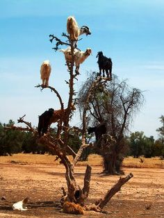 These are Moroccan Goats atop Argan Trees, a species of tree endemic to the calcareous semi-desert Sous valley of southwestern Morocco and to the Algerian region of Tindouf. In this drought-ridden places where there is little to eat, goats will climb up these trees to graze.