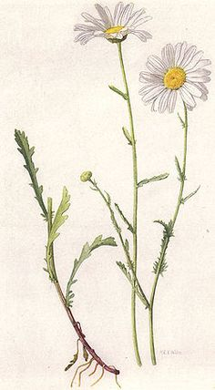 National Geographic Magazine/Volume 31/Number 6/Our State Flowers/List of Illustrations - Common or Ox-Eye Daisy - Chrysanthemum cucanthemum L.