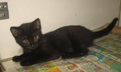 Fiona - 3 month old, spayed female, domestic short hair mix, ID#070112g