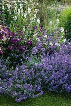 HOOK END FARM, BERKSHIRE: CLEMATIS 'POLISH SPIRIT' AND NEPETA SIX HILLS GIANT 055417.jpg
