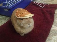 Funny pictures about A Bunny With A Pancake On Its Head. Oh, and cool pics about A Bunny With A Pancake On Its Head. Also, A Bunny With A Pancake On Its Head photos. Funny Bunnies, Baby Bunnies, Cute Bunny, Funny Rabbit, Bunny Hat, Silly Rabbit, Bunny Toys, Pet Rabbit, Easter Bunny