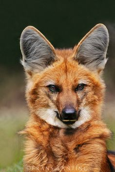 Maned wolf, Brazil - The Maned Wolf is a completely separate species, having no relation to any other canid...a relic from the last mass extinction...