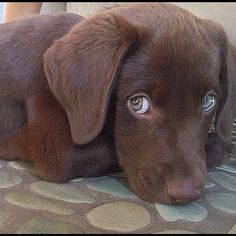 Chocolate Lab Puppy with Cool Green Eyes
