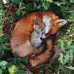 Fox vs Bunny