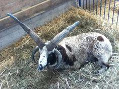 11 Distinctive Breeds of Sheep   Mental Floss