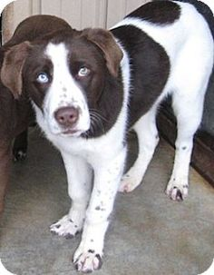 english springer spaniel labrador retriever mix more english springer ...