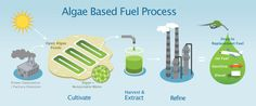 Production og algae based biofuels
