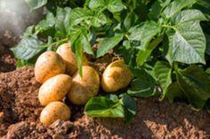 Kartoffeln gießen – Das sollten Sie wissen