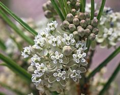 horsetail milkweed flowers profile, gorgeous showing how grand they are, in their splendor