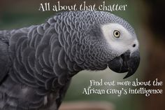 African Grey Parrot Facts For Kids & Students: Pictures, Information & Video. Discover the endangered talking parrot that can learn 100 words! Parrot Toys, Parrot Bird, Parrot Facts, Parakeet Cage, African Grey Parrot, Cute Birds, Budgies, Animals Of The World, Beautiful Birds