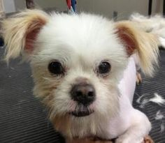 Adopt Bella In Ri On Dog Love Pekingese Dogs Pekingese