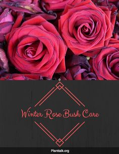 Winter Rose Bush Care - Produced by Tagawa Gardens, a partner in PlantTalk Colorado Rose Bush Care, Colorado State University, Winter Rose, Gardening Tips, Landscaping, Roses, Flowers, Plants, Beautiful