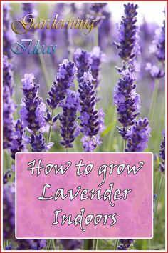 Beautiful Lavender with its wonderful aroma. There is also ways to have it in house *** Learn more by visiting the image link.