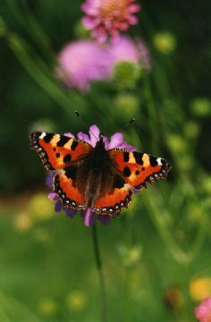 Tortoise Shell Butterfly?  Used to see loads of these when I was young!