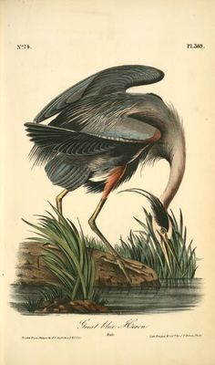 Great Blue Heron. Male.