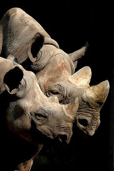 Rhinos by Trebaruna (Svarta änkan).  Stunning photo of Black Rhinos.