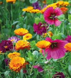 Add some pizzazz to your garden with these bestselling hot colours. Cosmos 'Double Click Cranberries', Malope trifida 'Vulcan' and Calendula 'Indian Prince'.