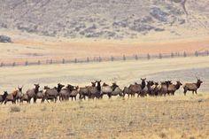 Google Image Result for http://www.greenglobaltravel.com/wp-content/uploads/Elk-Herd-Outside-Yellowstone-National-Park1.jpg