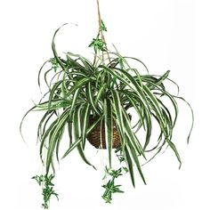 Spider Hanging Basket Silk Plant.  Want a plant that expresses your carefree personality and style? This uniquely crafted spider hanging basket silk plant is the ideal choice for lighthearted souls. Long wispy foliage extends well beyond the wicker container, and the lush green leaves highlighted with a cream colored pin stripe are sure to satisfy even the most meticulous of critics.  #spiderplant #hangingbasket #silkplant
