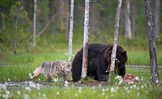 Suomalaiskuvaajan otoksista nettihitti - karhujen ja susien ystävyys hämmästyttää maailmalla