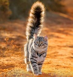 Glorious cat. Warrior Cats, Pretty Cats, Beautiful Cats, Animals Beautiful, Beautiful Pictures, Cute Cats And Kittens, Kittens Cutest, Gatos Cats, Photo Chat