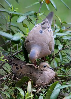 Their sweet calls bless my heart every single time. All Birds, Little Birds, Animals And Pets, Cute Animals, Dove Pigeon, Mourning Dove, Dove Bird, Bird Pictures, Bird Watching