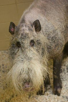 Bearded Pig from Borneo at the Henry Doorly Zoo, Nebraska, one of the ugliest animals I've seen, but he's still one of God's creatures ! Bizarre Animals, Ugly Animals, Unusual Animals, Rare Animals, Animals Beautiful, Animals And Pets, Beautiful Creatures, Ugliest Animals, Unusual Animal Friends