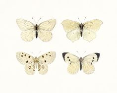 Vintage Butterfly Collection - Four Butterflys Natural History Wall Decor Print 10 x 8