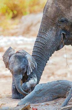 Cute baby animals, crazy animals, animals beautiful, beautiful creatures, c Elephants Photos, Elephant Pictures, Save The Elephants, Cute Animal Pictures, Elephant Images, Funny Pictures, Cute Creatures, Beautiful Creatures, Animals Beautiful