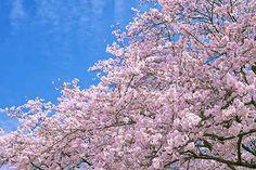 咲き誇るピンクの桜の木