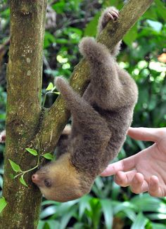 If you love me... You would buy me a sloth. Please?