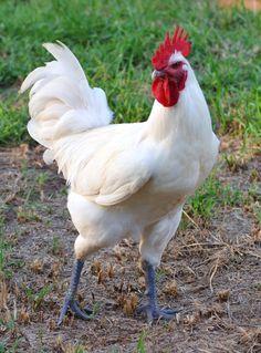 bresse chicken | Bresse Chickens - Page 5