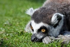 Watching the grass grow, it is very slow. Captivated (Ring Tailed Lemur), --A lot like waiting for a kitchen remodel to be done. Blackpool, Cool Photos, Lemurs, Pets, Animals, Llamas, Madagascar, Ring, Mother Earth