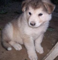 Siberian Indian Dog - HypoAllergenic.